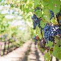 bangalore blue vinyard