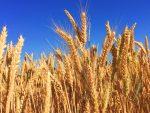 craft barley field wheat harvest